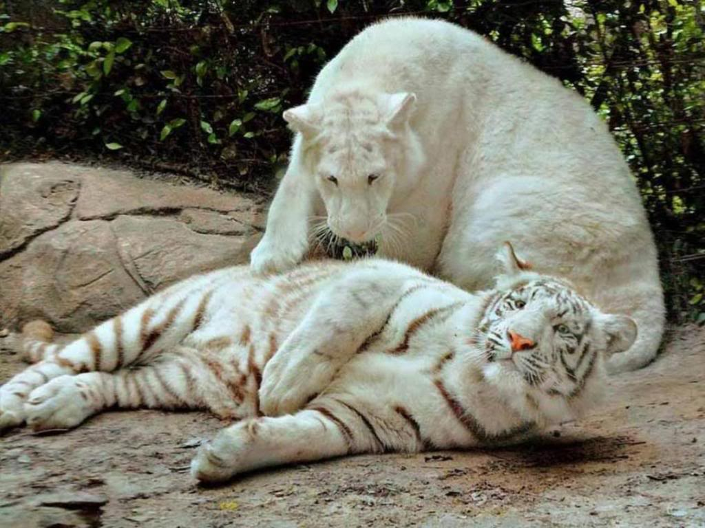 friends download white tiger wallpaper which is under the tiger 1024x768