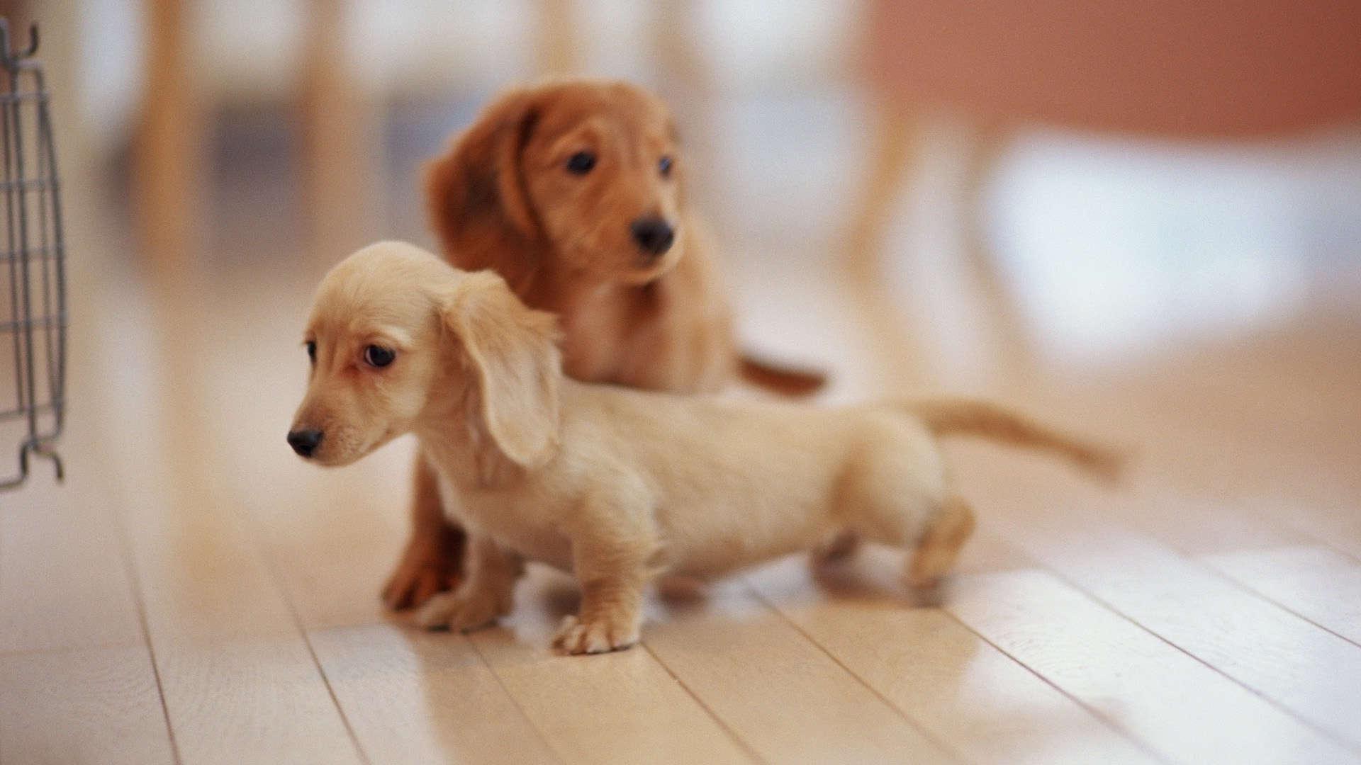 Download now: Cute HD Dachshund Puppies Wallpaper. Read description ...