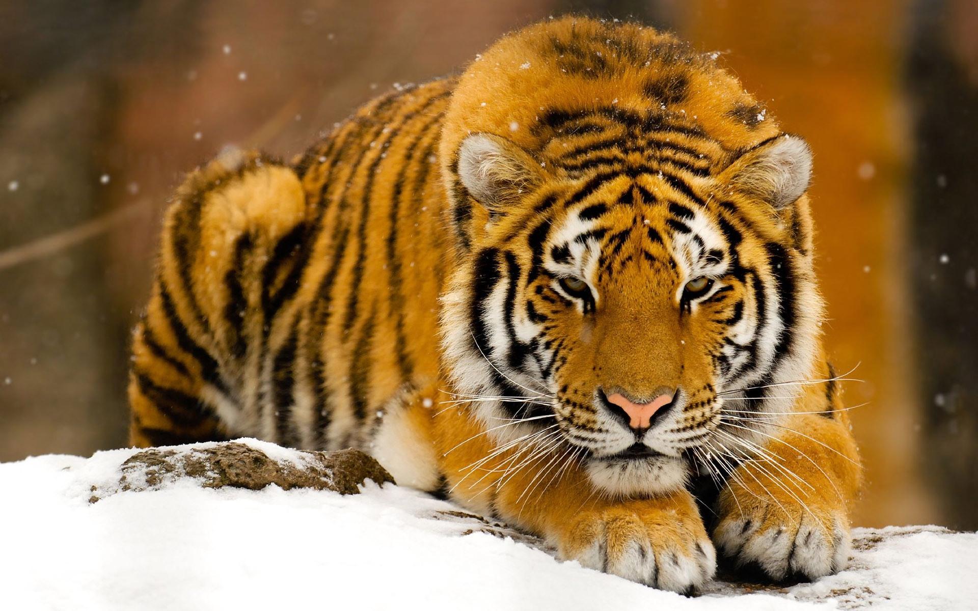 Siberian Tiger desktop wallpaper 1920x1200