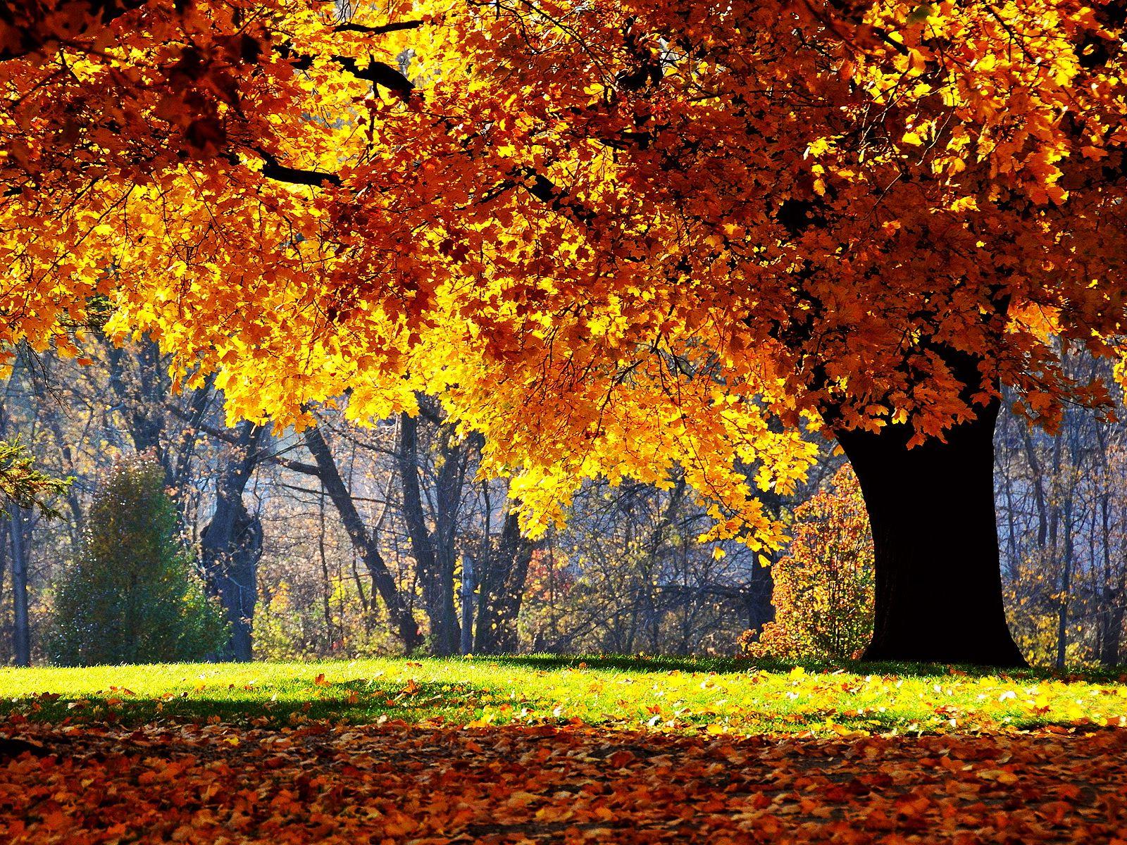 Wallpaper autumn tree yellow leaf oak Autumn oak tree 1600x1200