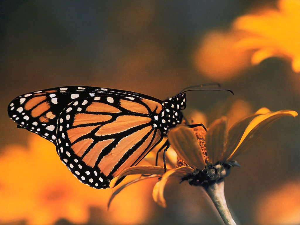 Monarch Butterfly   Insects Wallpaper Image featuring Butterflies 1024x768