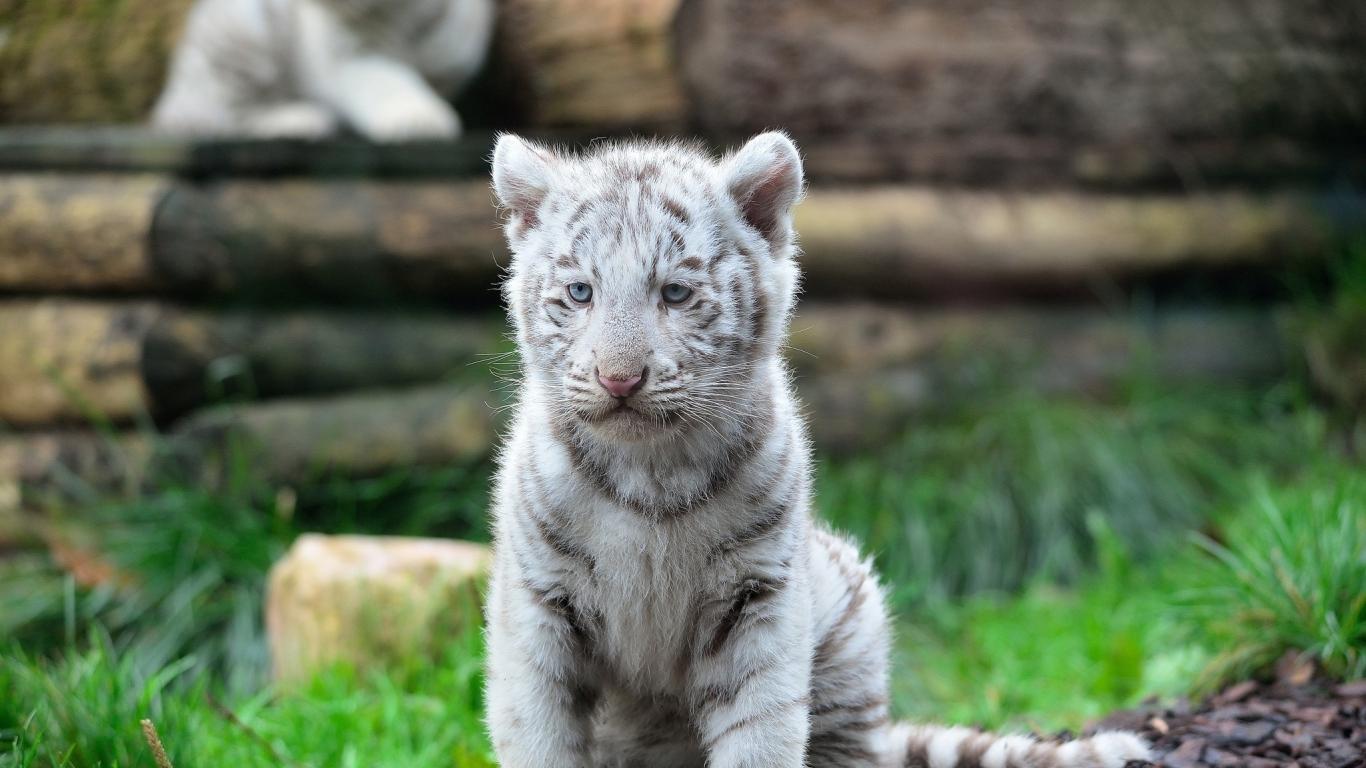 White Tiger Cub Wild Cat Predator Animal Wallpaper 1366x768
