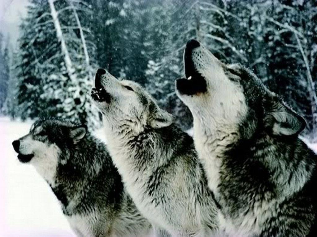 Howling wolf wallpapers