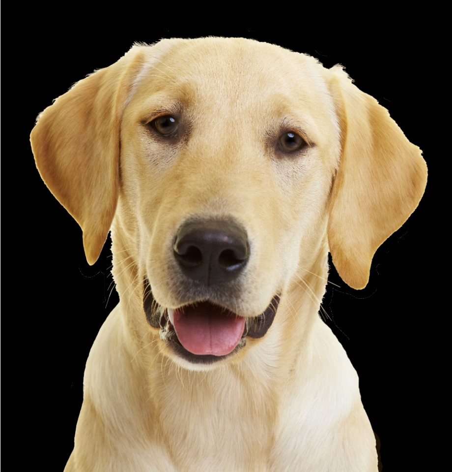 yellow lab puppy wallpaper - photo #19