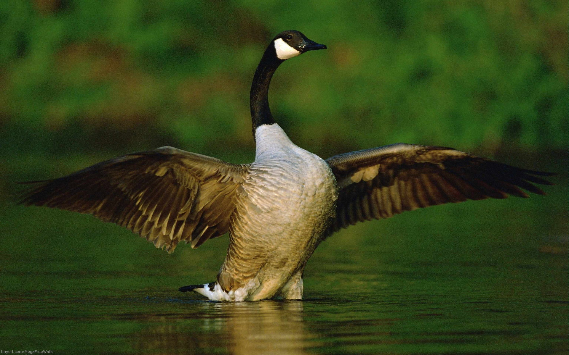 GOOSE CANADA WALLPAPERS FREE Wallpapers Background images 1920x1200