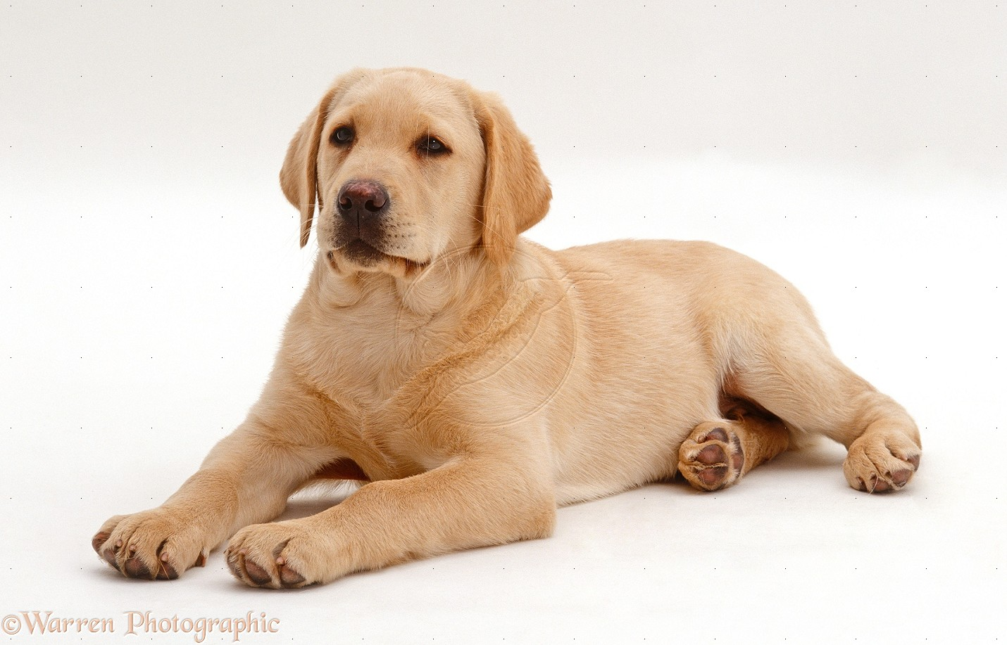 yellow labrador retriever puppy 169   Yellow Labrador Retriever Puppy 1430x917
