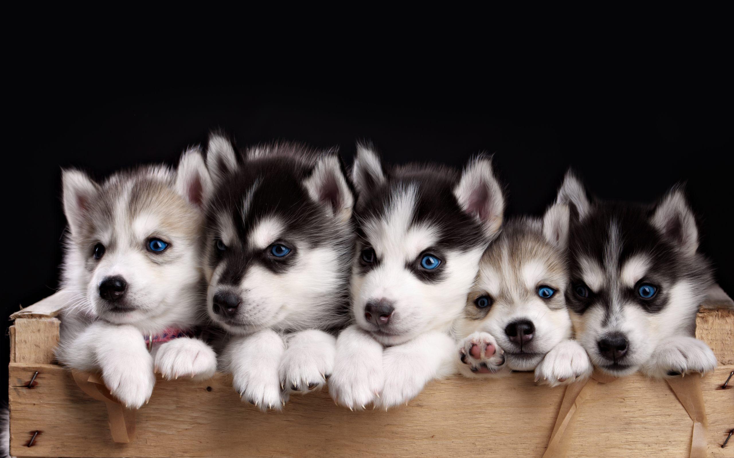 husky dog wallpaper - wallpapersafari