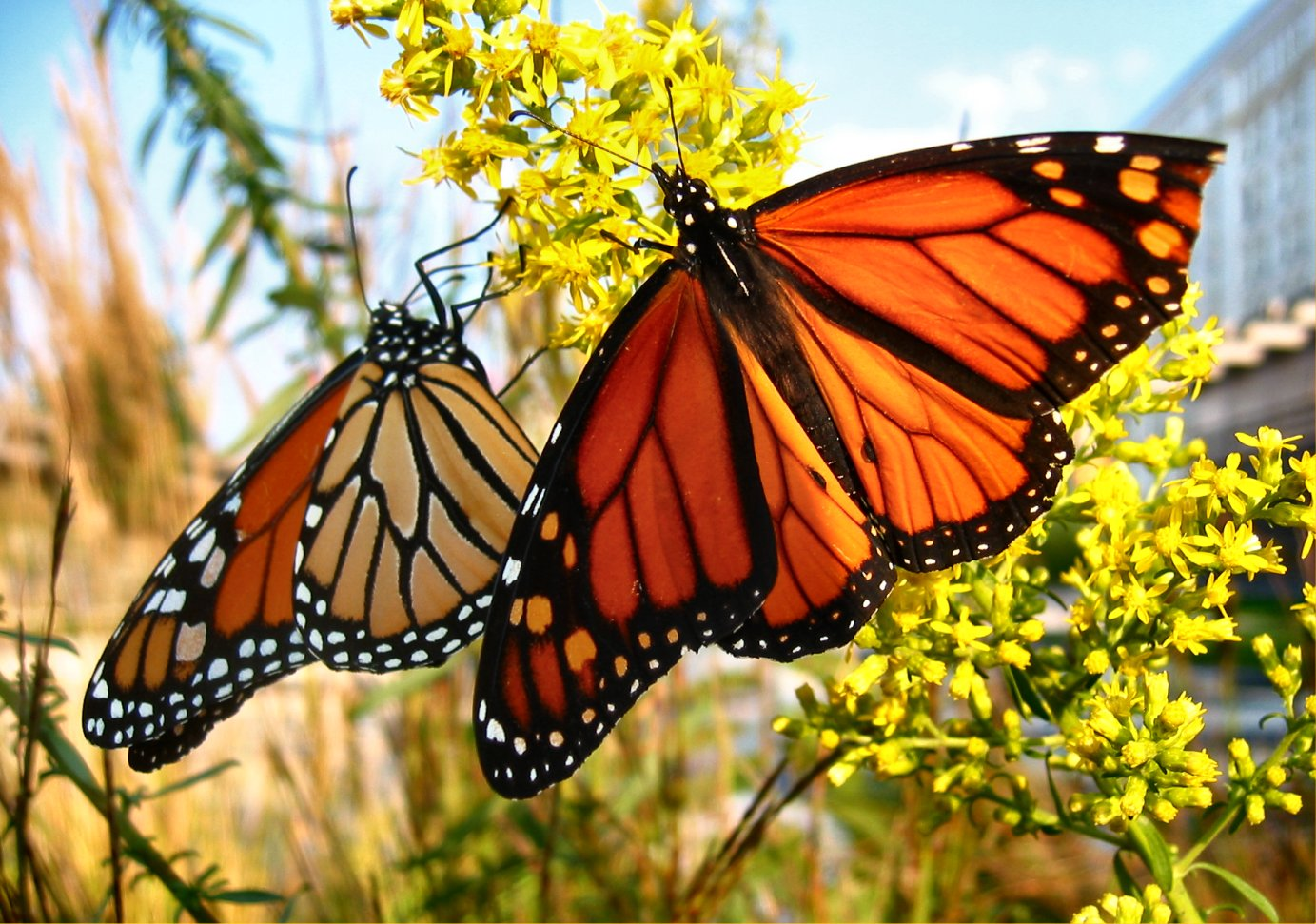 Monarch Butterfly 13 Widescreen Wallpaper   Hivewallpapercom 1383x971