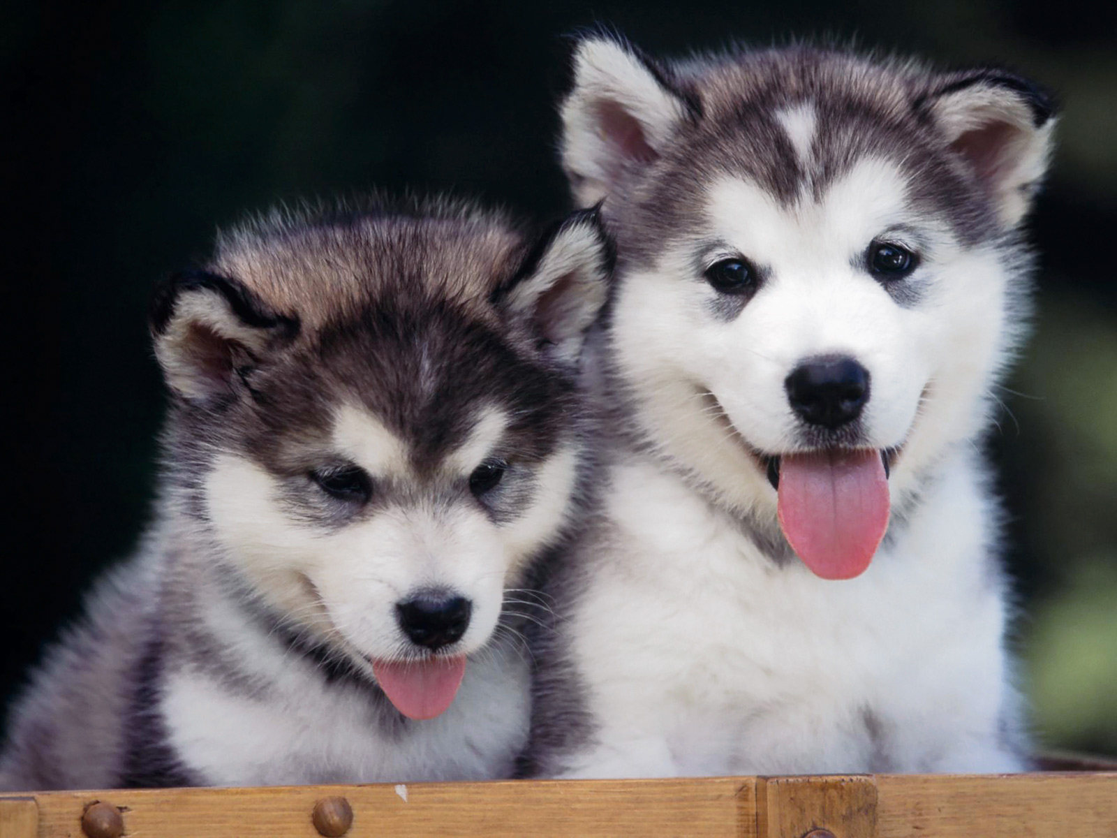 puppies photo and wallpaper Beautiful Siberian Husky puppies pictures 1600x1200