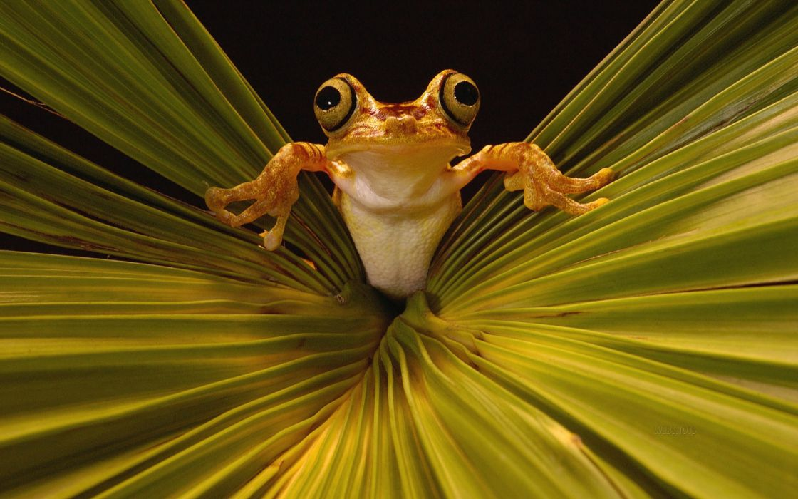 Leaves frogs amphibians wallpaper 1920x1200 17190 WallpaperUP 1120x700
