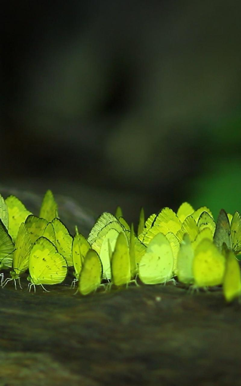 Bing butterflies nature wallpaper 77079 800x1280
