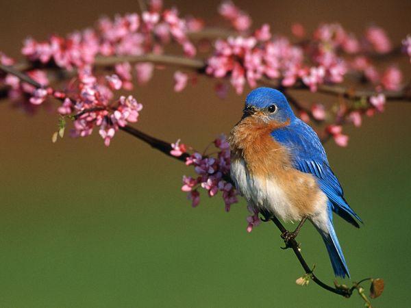 SUN SHINES Beautiful Blue Bird Wallpaper 600x450