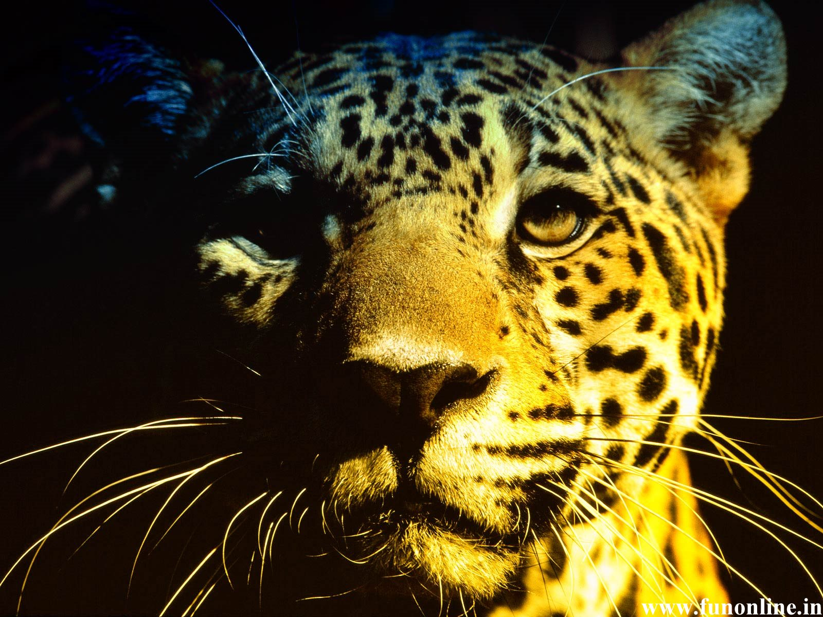 Jaguar Wallpapers Stunning Jaguar HD Wallpapers for Download 1600x1200
