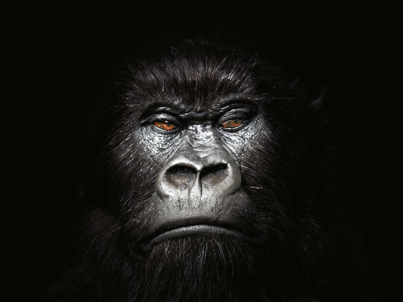 Gorilla Wallpaper 20   1600 X 1200 stmednet 1600x1200