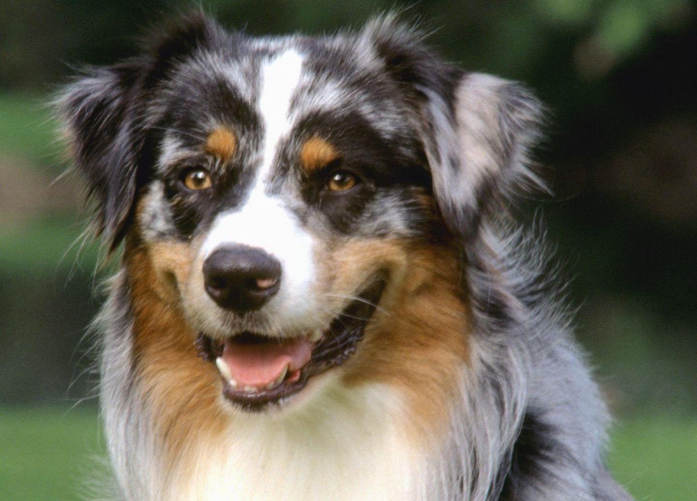 Australian Shepherd dog face photo and wallpaper Beautiful Australian 1440x1035