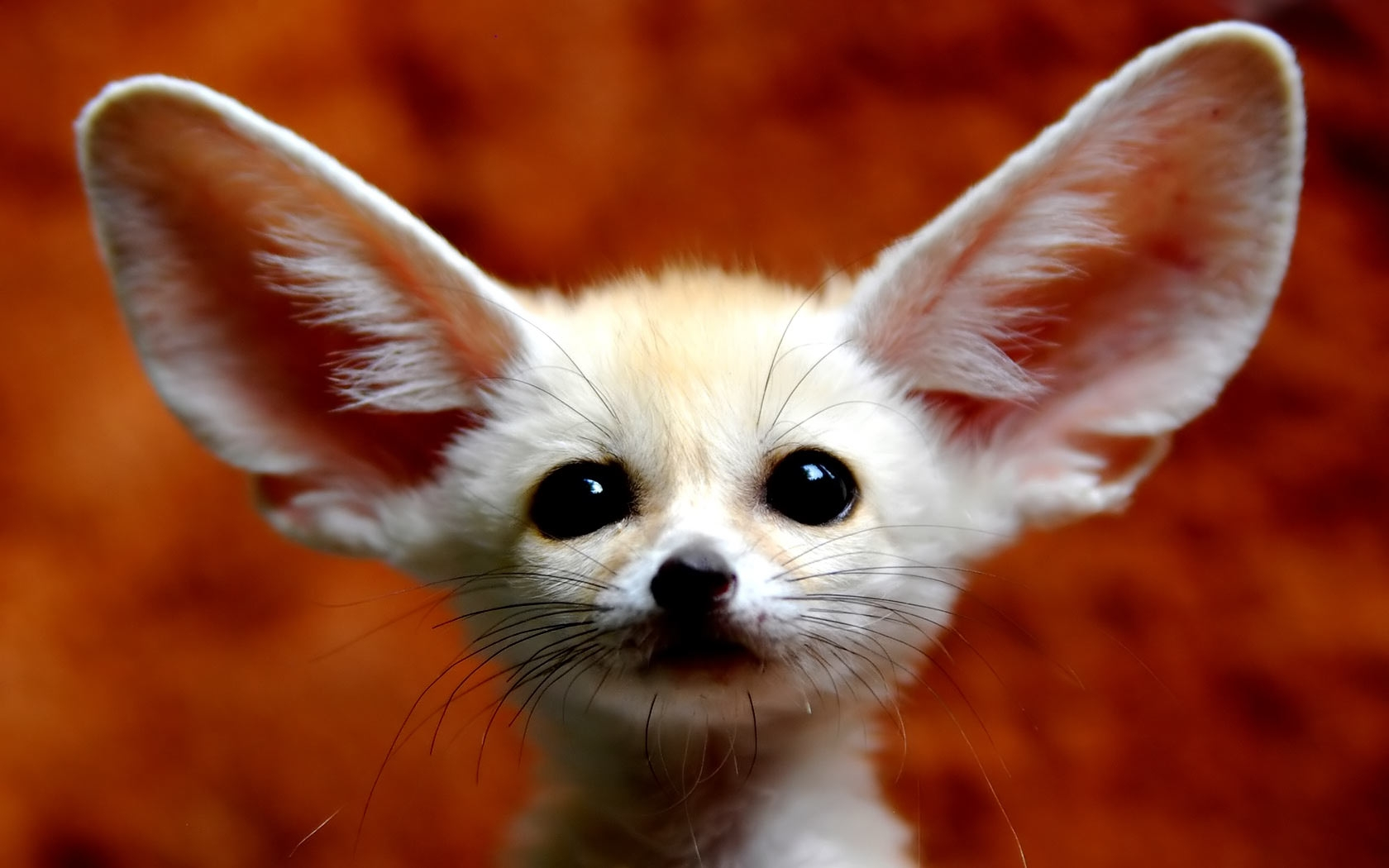 Fennec Fox Wallpapers   HD Wallpaper Download 1680x1050