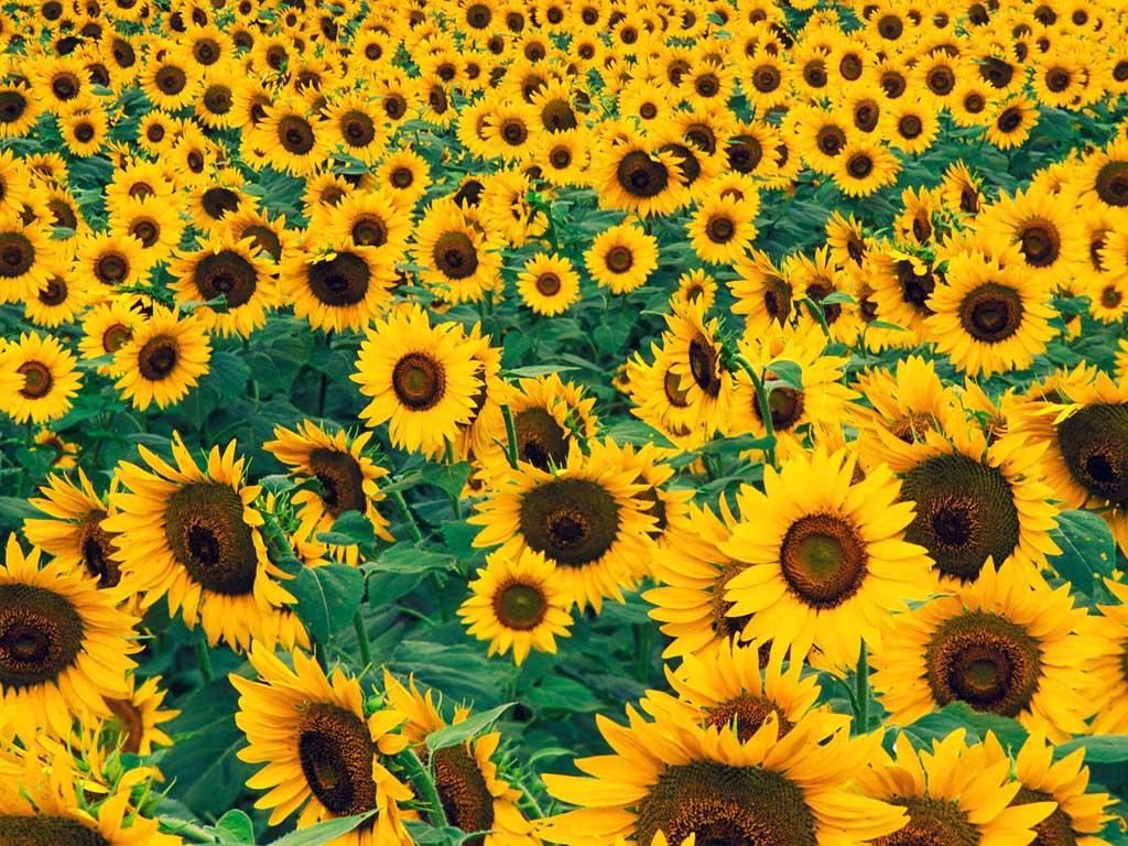 Summer Sunflowers Twitter Backgrounds Summer Sunflowers Twitter 1024x768