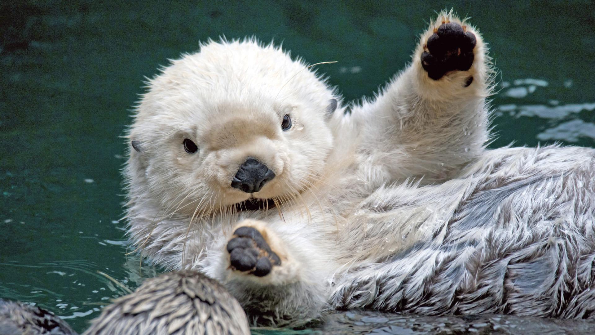 sea otter animal cute wallpaper 1920x1080