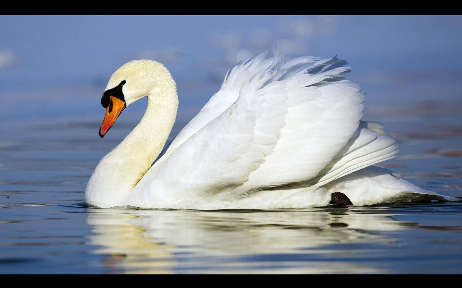 Swan Wallpapers Swan DesktopWallpapers Swan Desktop Backgrounds 1600x1000