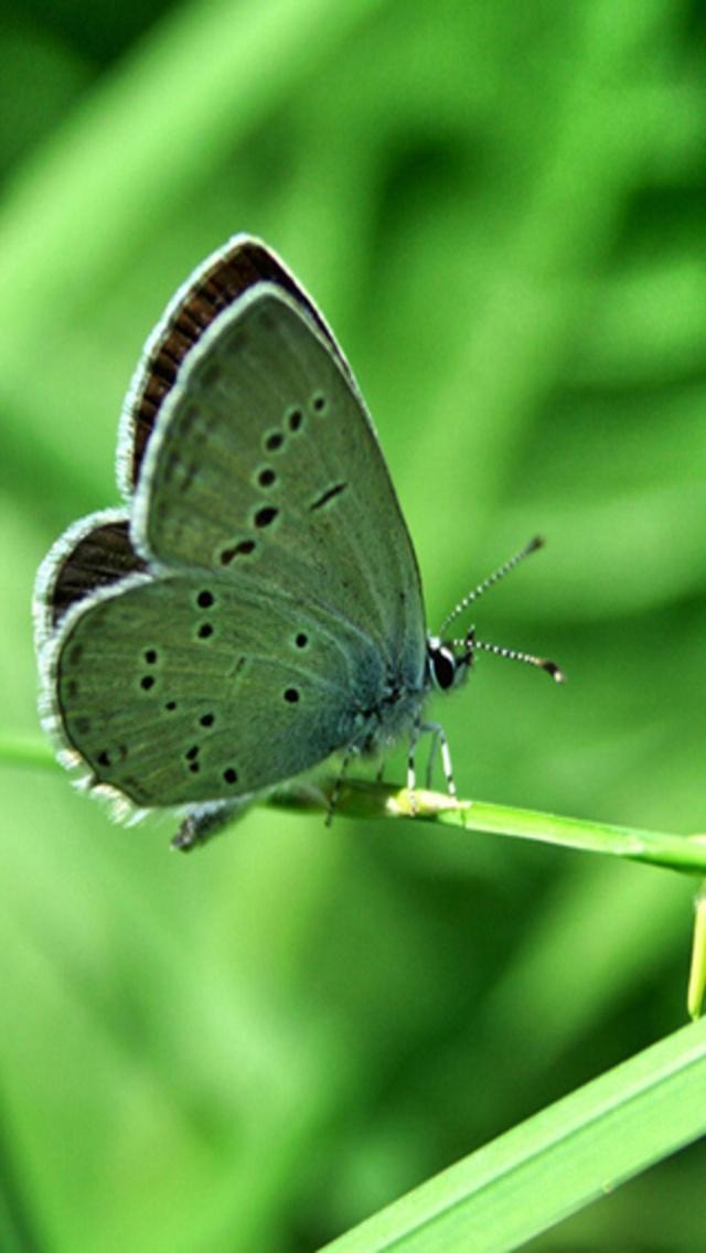 Green Butterfly Backgrounds Green butterfly 640x1136