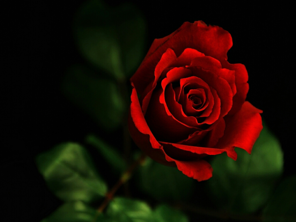 flowers for flower lovers Red rose desktop HD wallpapers 1024x768