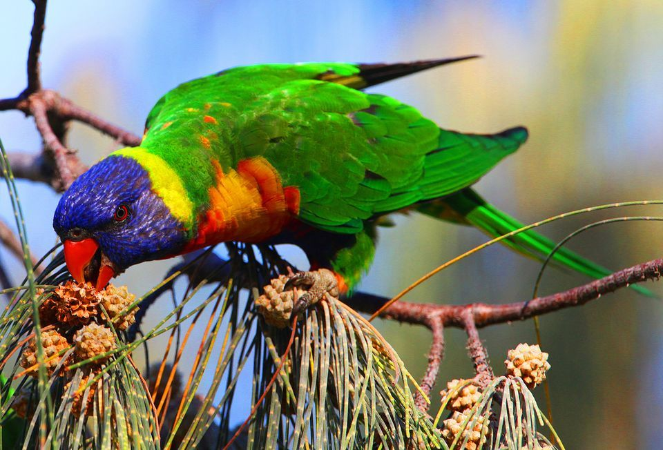 Parrot Images YG556 High Quality Wallpapers For Desktop And Mobile 960x652
