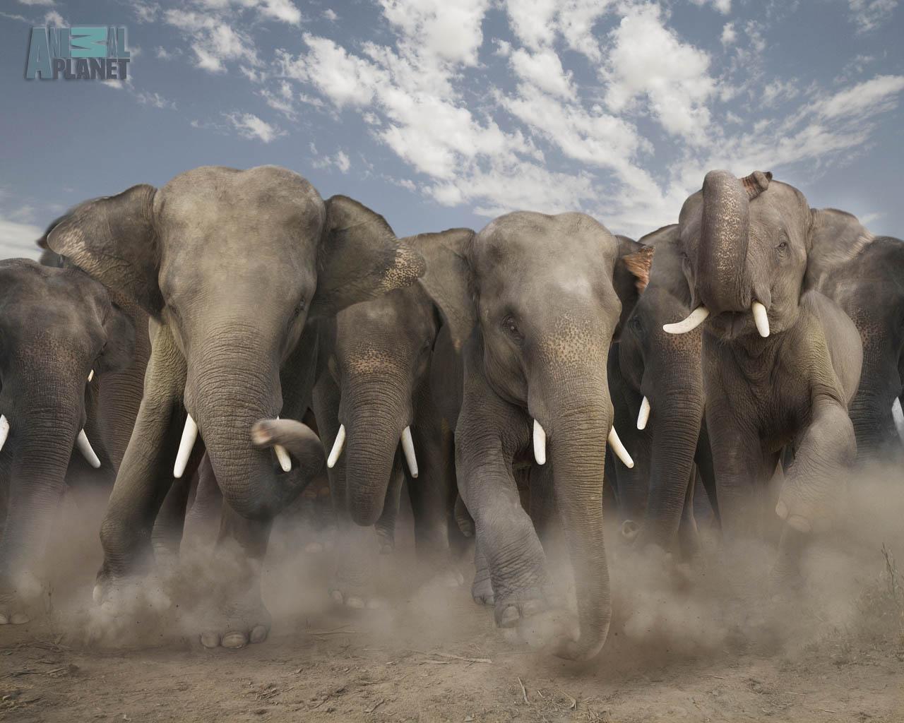 Animals Wallpapers elephant wallpaper 1280x1024