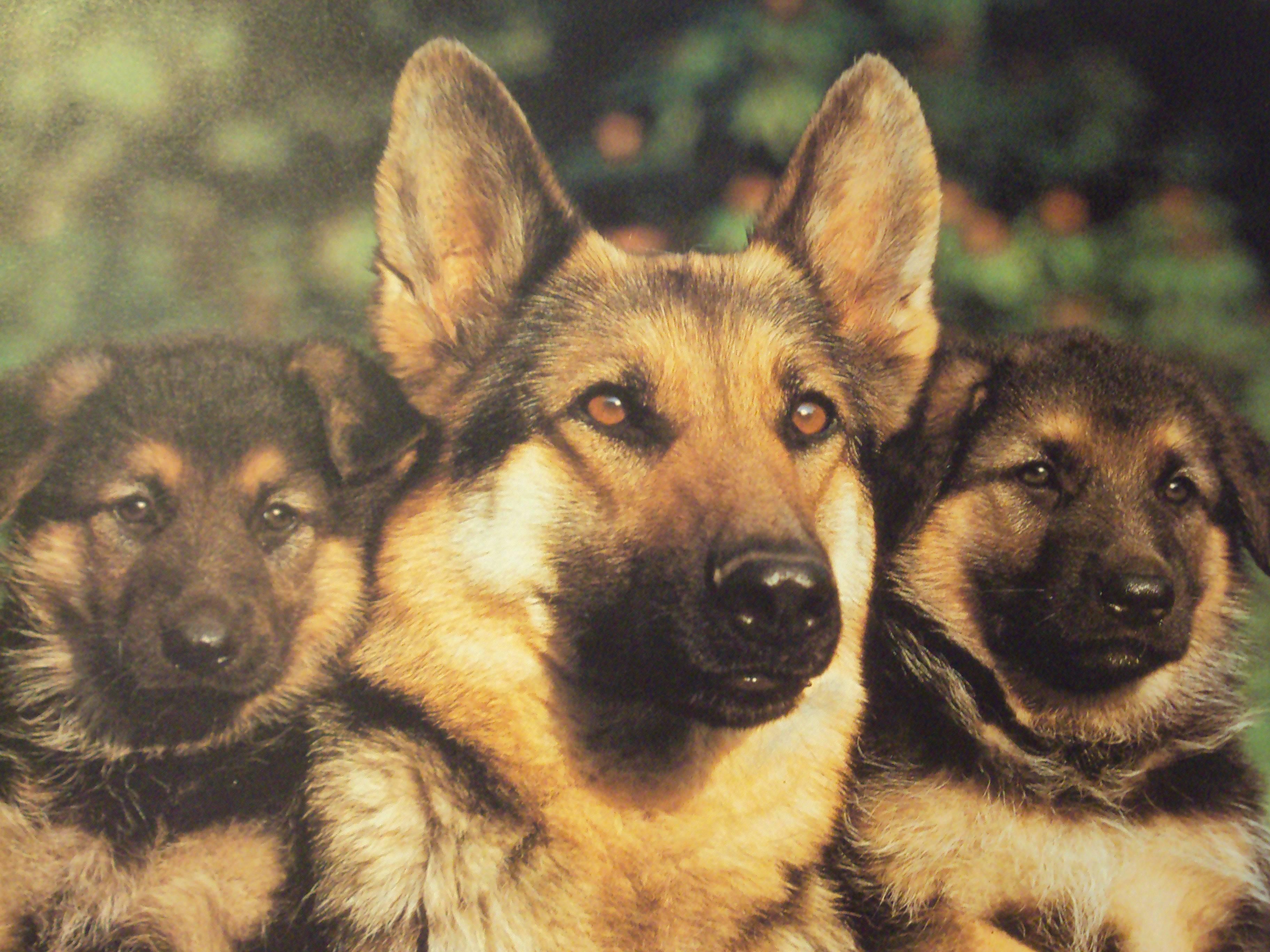 German Shepherd Dog Wallpapers   Top German Shepherd Dog 3648x2736