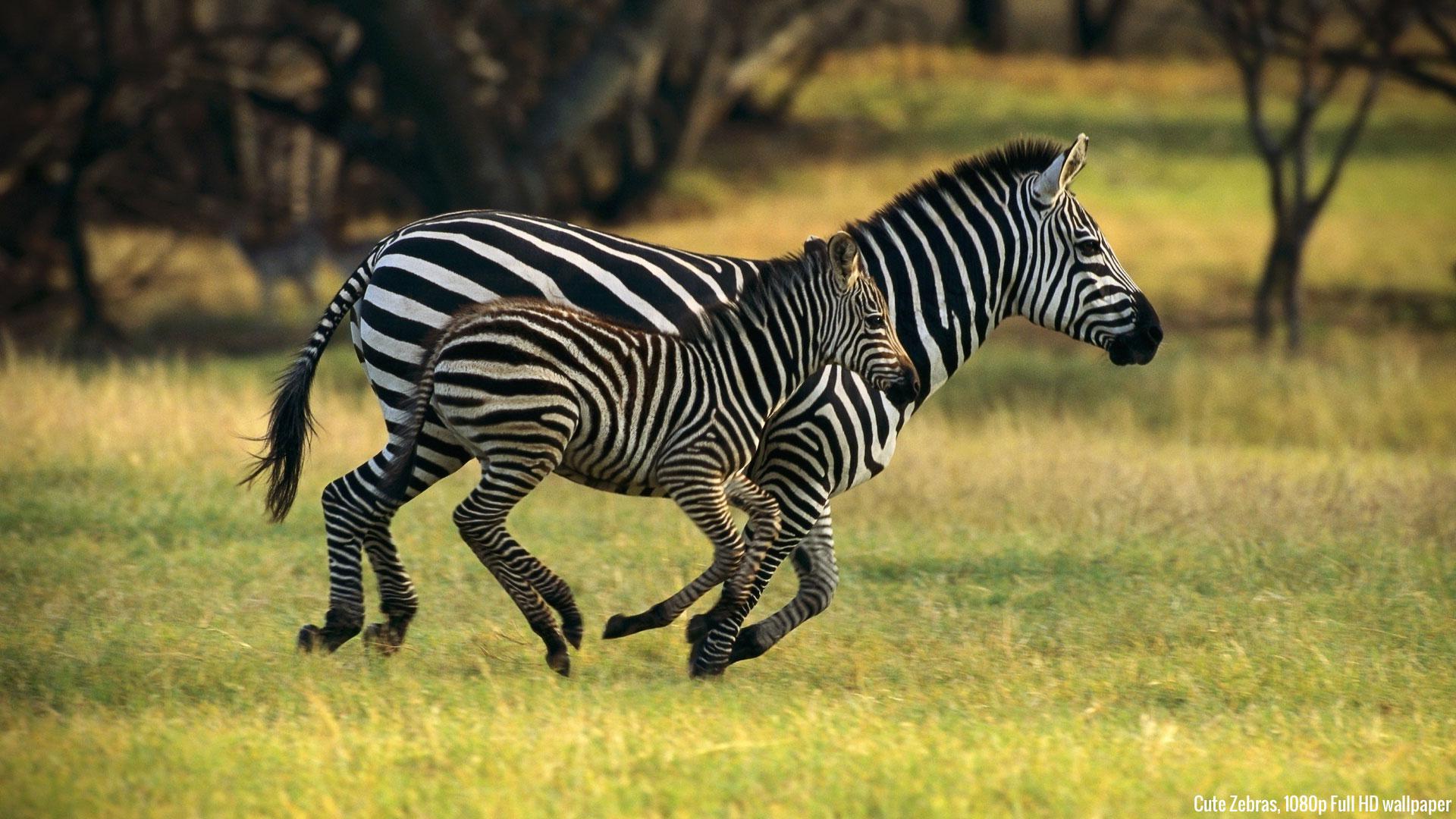 High Definition Zebra Wallpaper 1920x1080