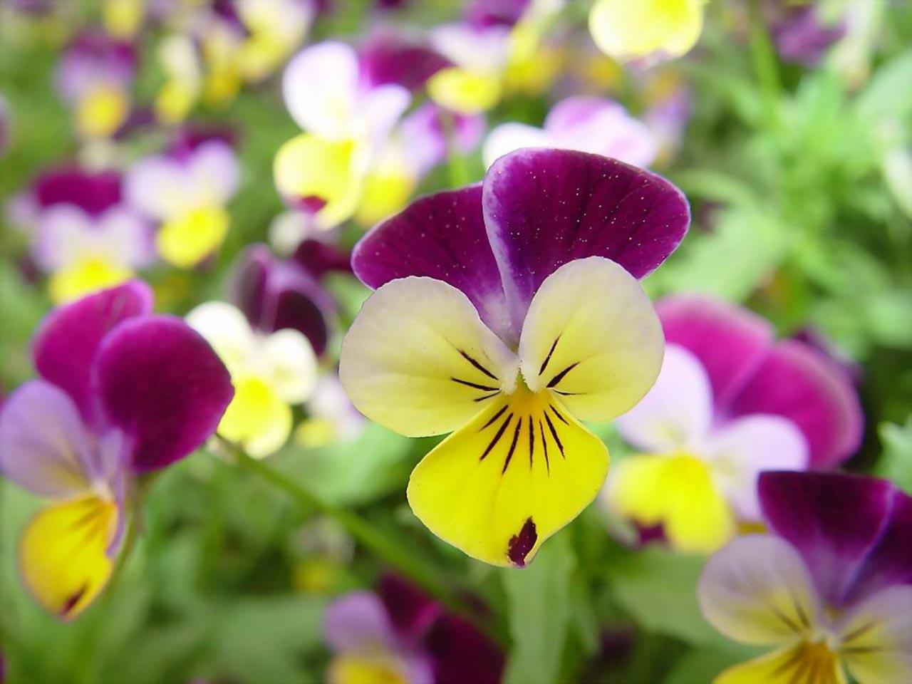 Flower Wallpaper For Computer Desktop HD Wallpapers 1280x960