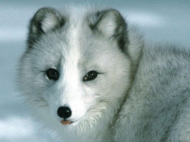 Cute Baby Wolf Wallpaper - WallpaperSafari - photo#8
