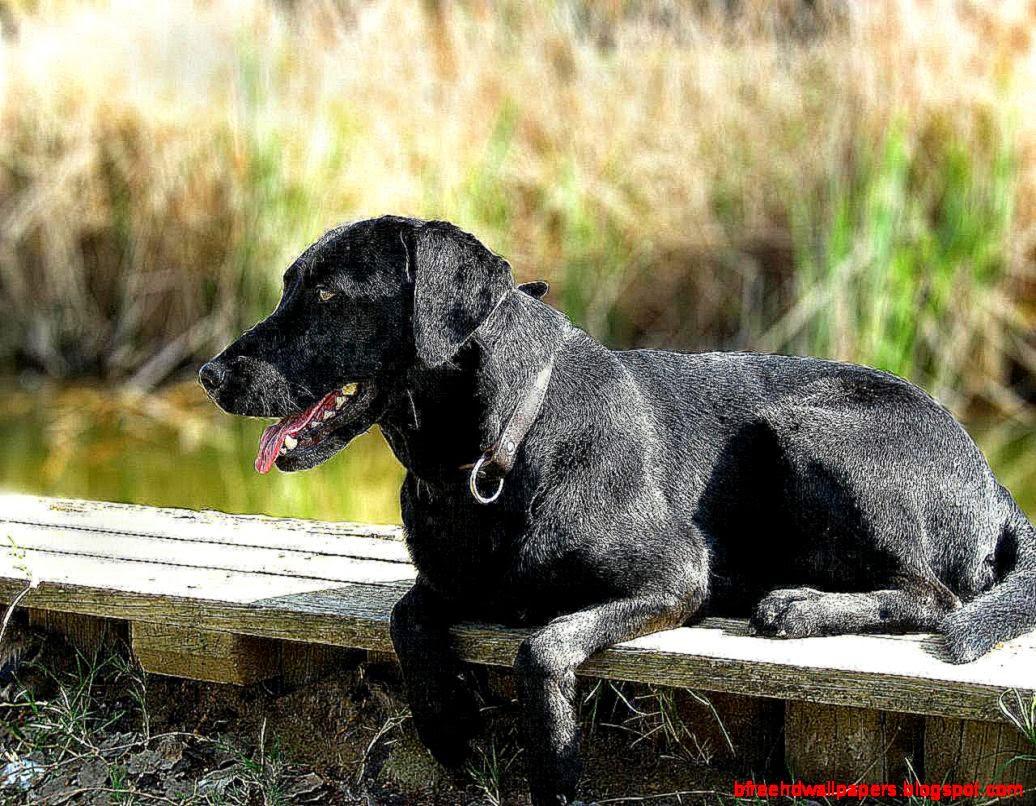 Dog Black Labrador Retriever Look Hd Wallpaper HD Wallpapers 1036x806