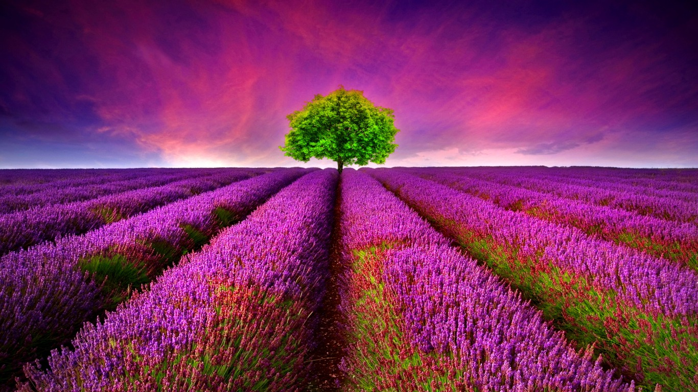 164 Lavender HD Wallpapers Backgrounds 1366x768