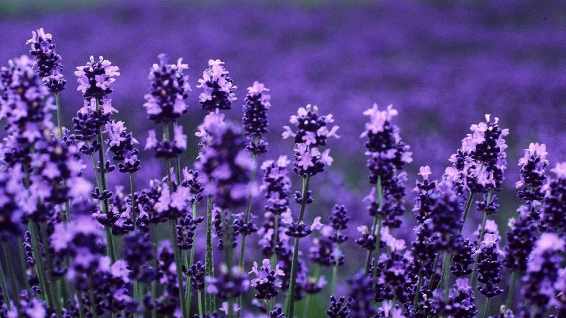 Lavender HD   Wallpaper High Definition High Quality Widescreen 1920x1080