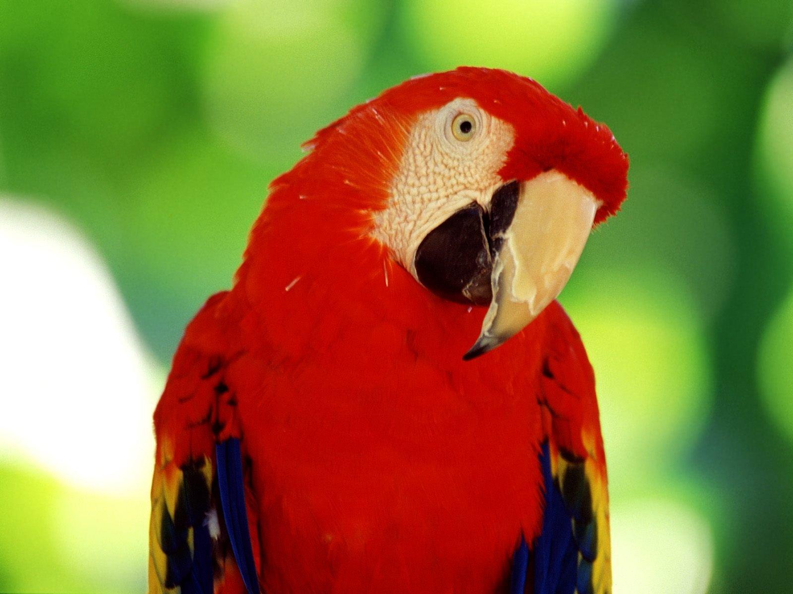 Parrot Wallpaper Live HD Wallpaper HQ Pictures Images Photos 1600x1200