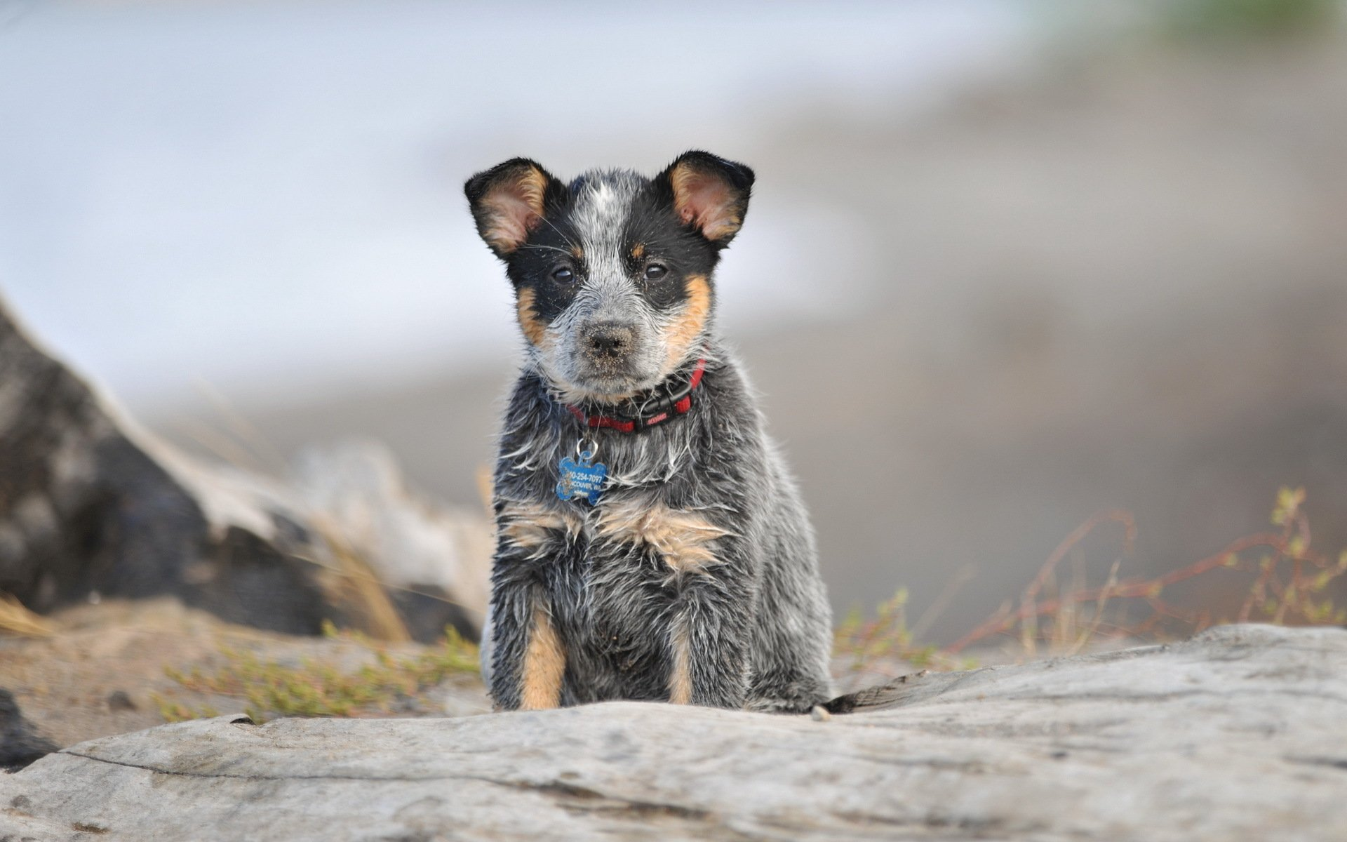 29 Australian Cattle Dog HD Wallpapers Background Images 1920x1200