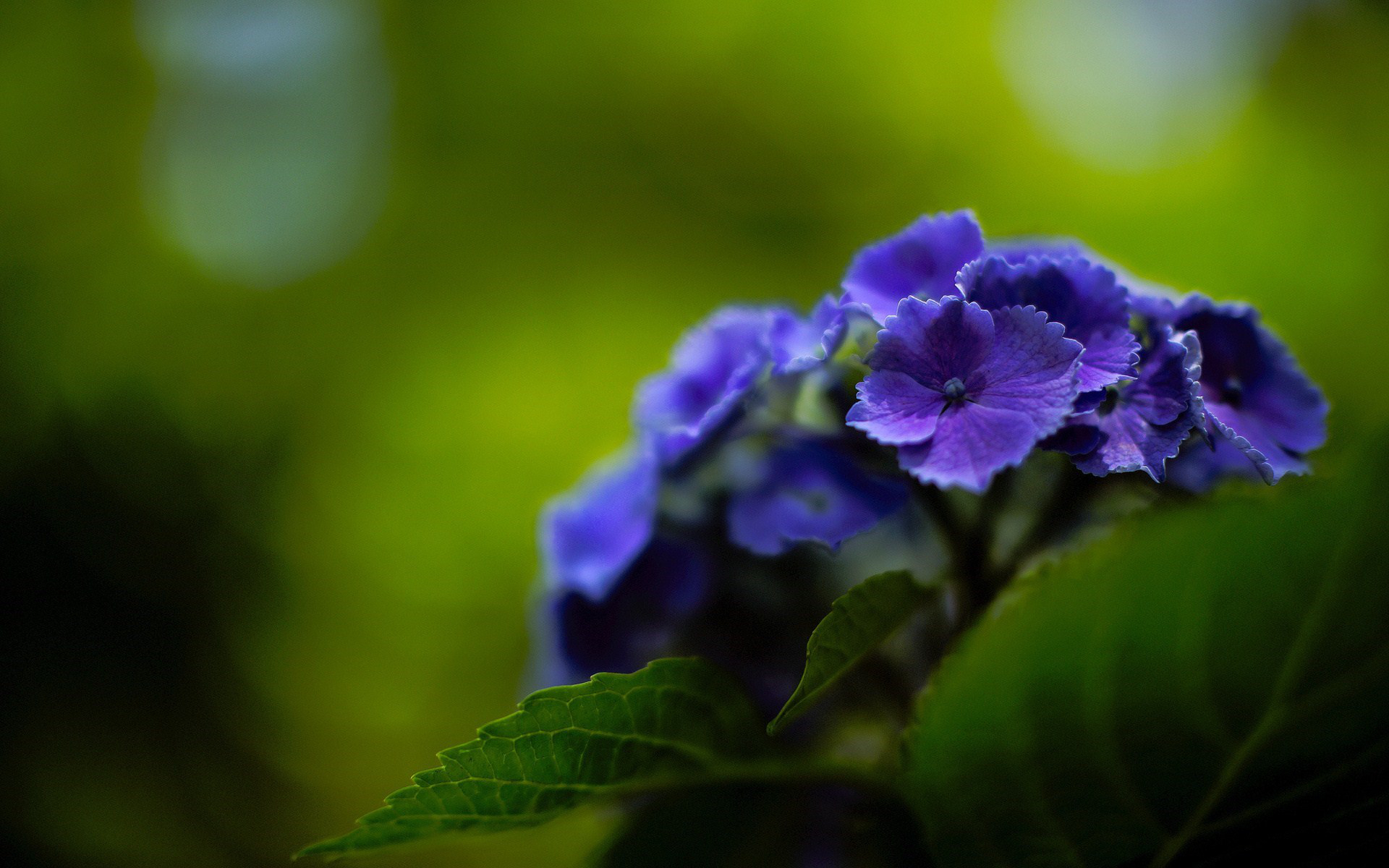 Purple Hydrangea Wallpaper Wallpapersafari