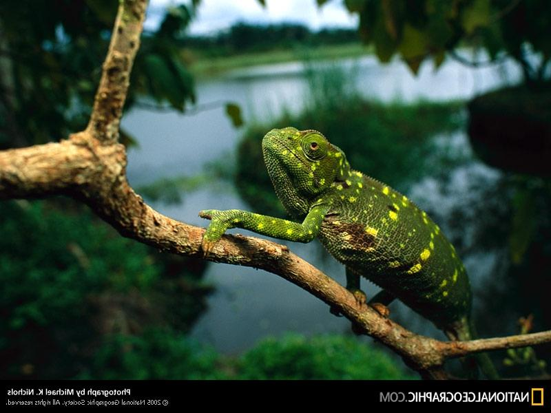 Gabon Chameleon 2003 Photo of the Day Picture Photography 800x600