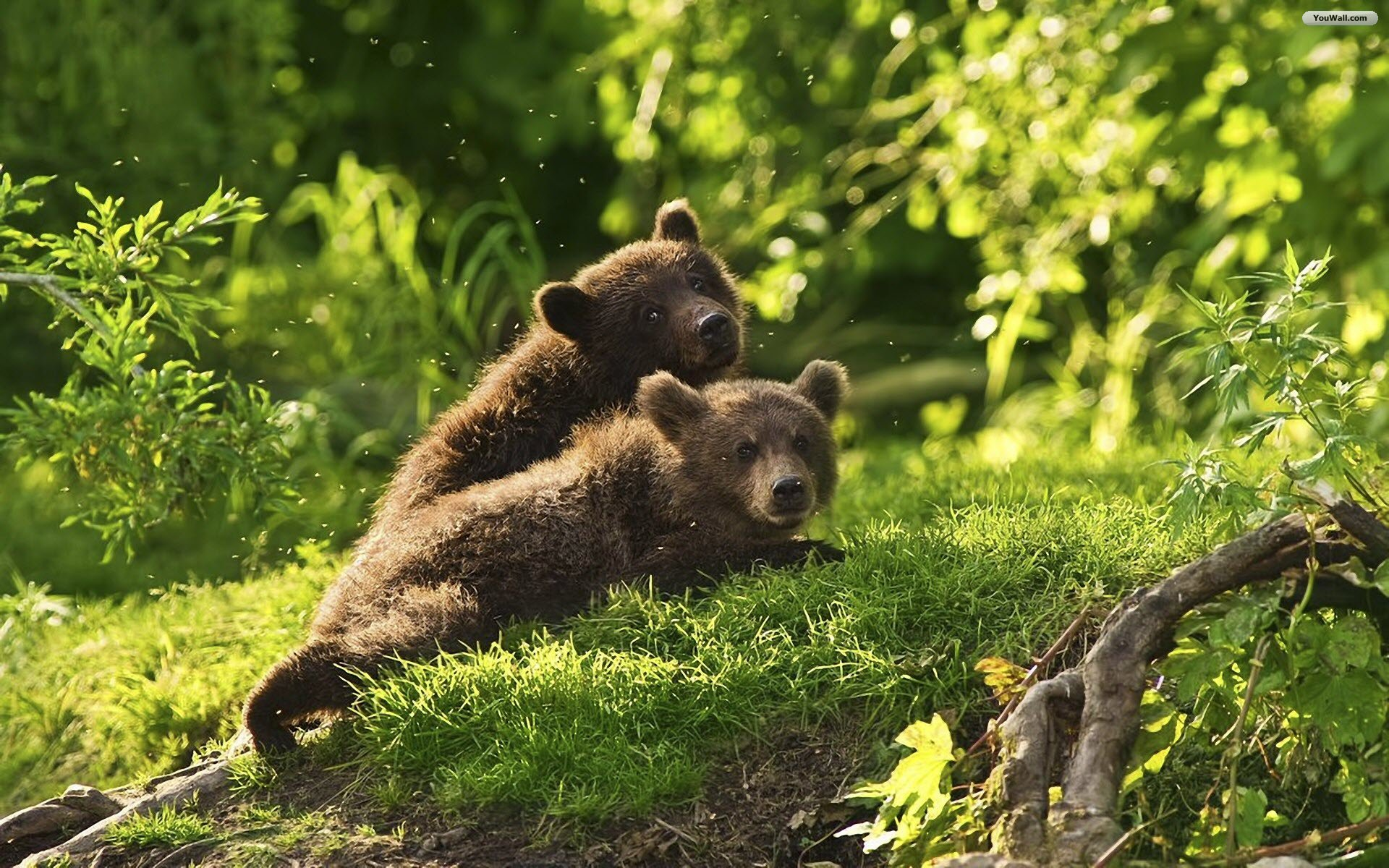 Красивые обои на рабочий стол медвежата
