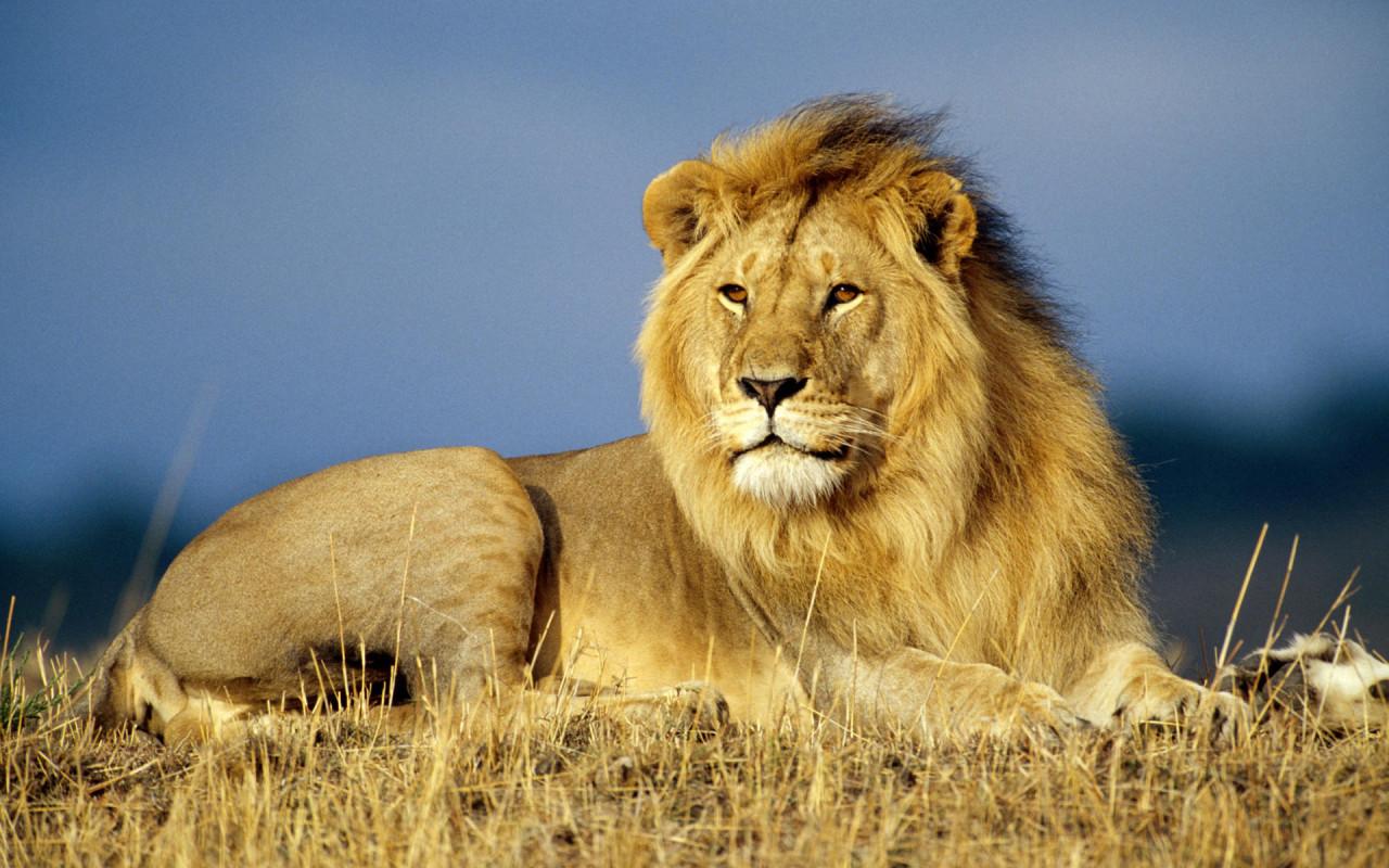 Image Of A Roaring Lion Dowload: [46+] Roaring Lion Wallpaper On WallpaperSafari