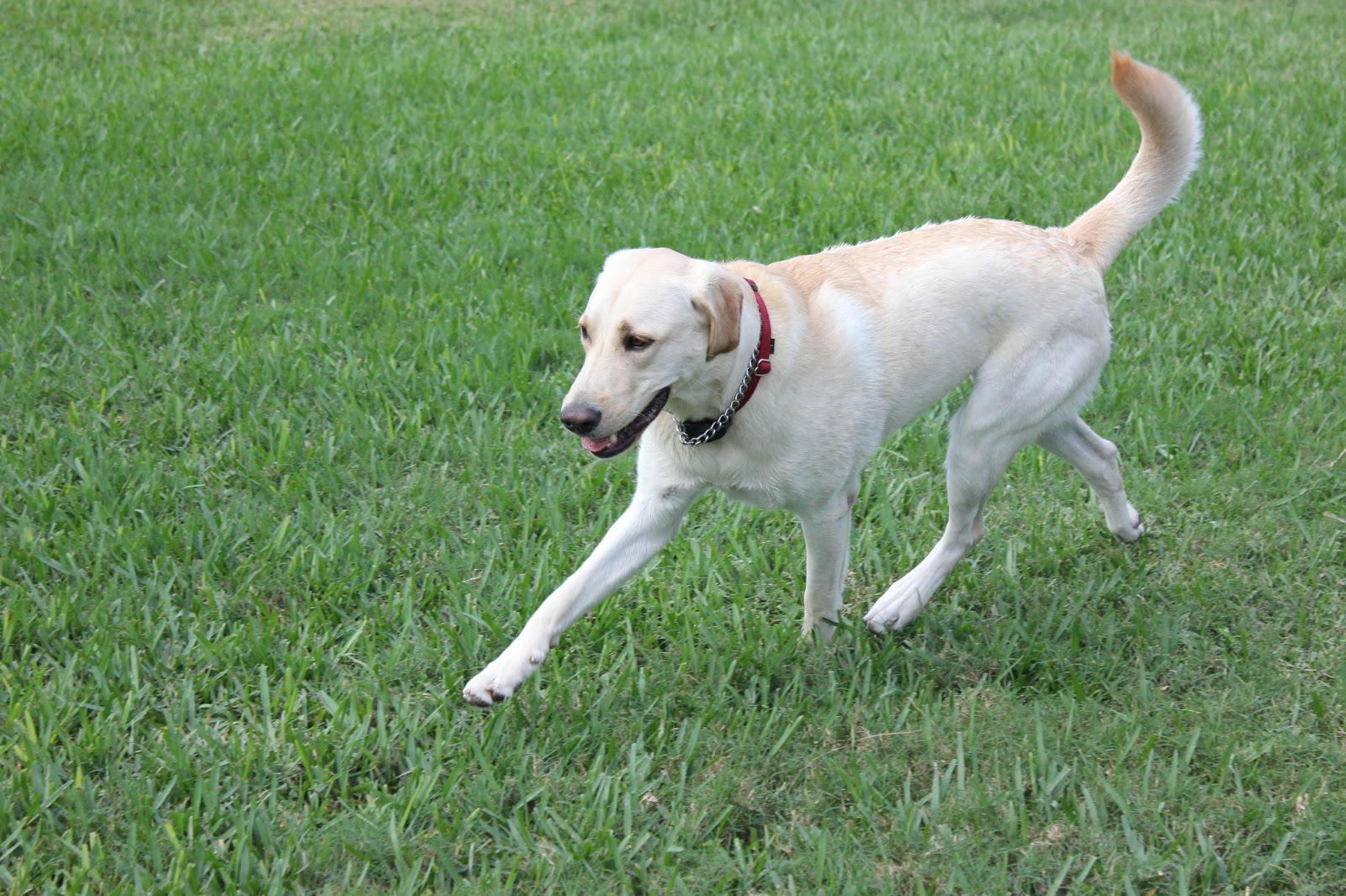 yellow labrador retriever yellow labrador retriever yellow labrador 1600x1066