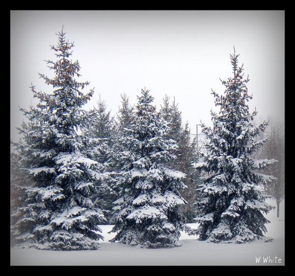 Snowy Trees 600x562