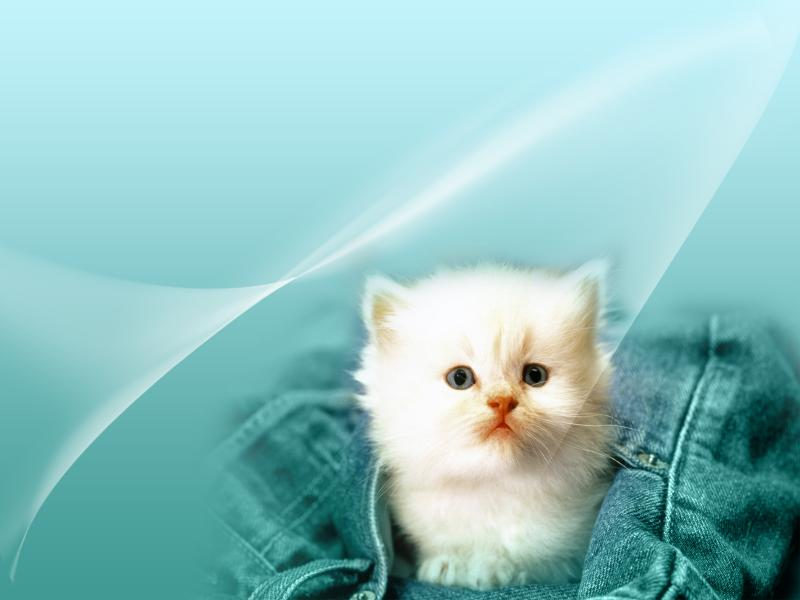 httpwallpaper365greetingscomanimalcatcat wallpaper 2rjpghtml 800x600