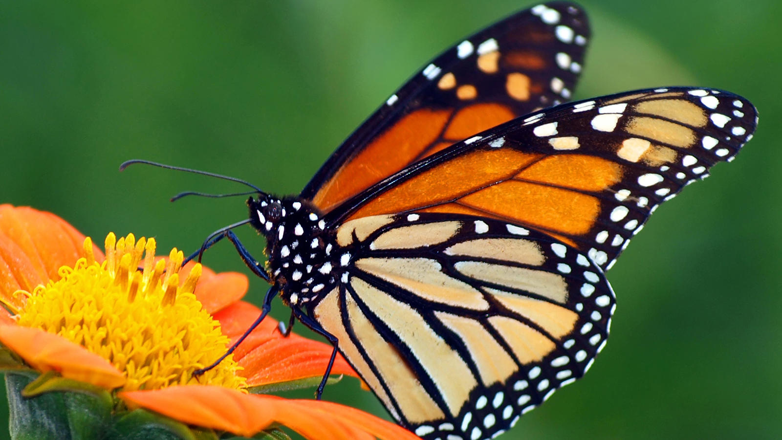 Monarch Butterfly wallpaper 1600x900 13800 1600x900