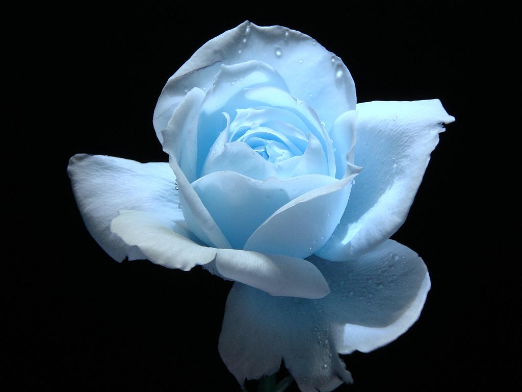 Dark Blue And White Flowers: Light Blue Flower Wallpaper