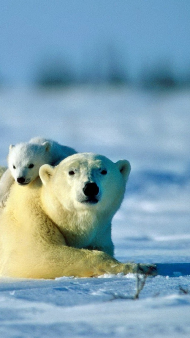Wallpaper 640x1136 polar bear bear couple cub snow caring iPhone 640x1136