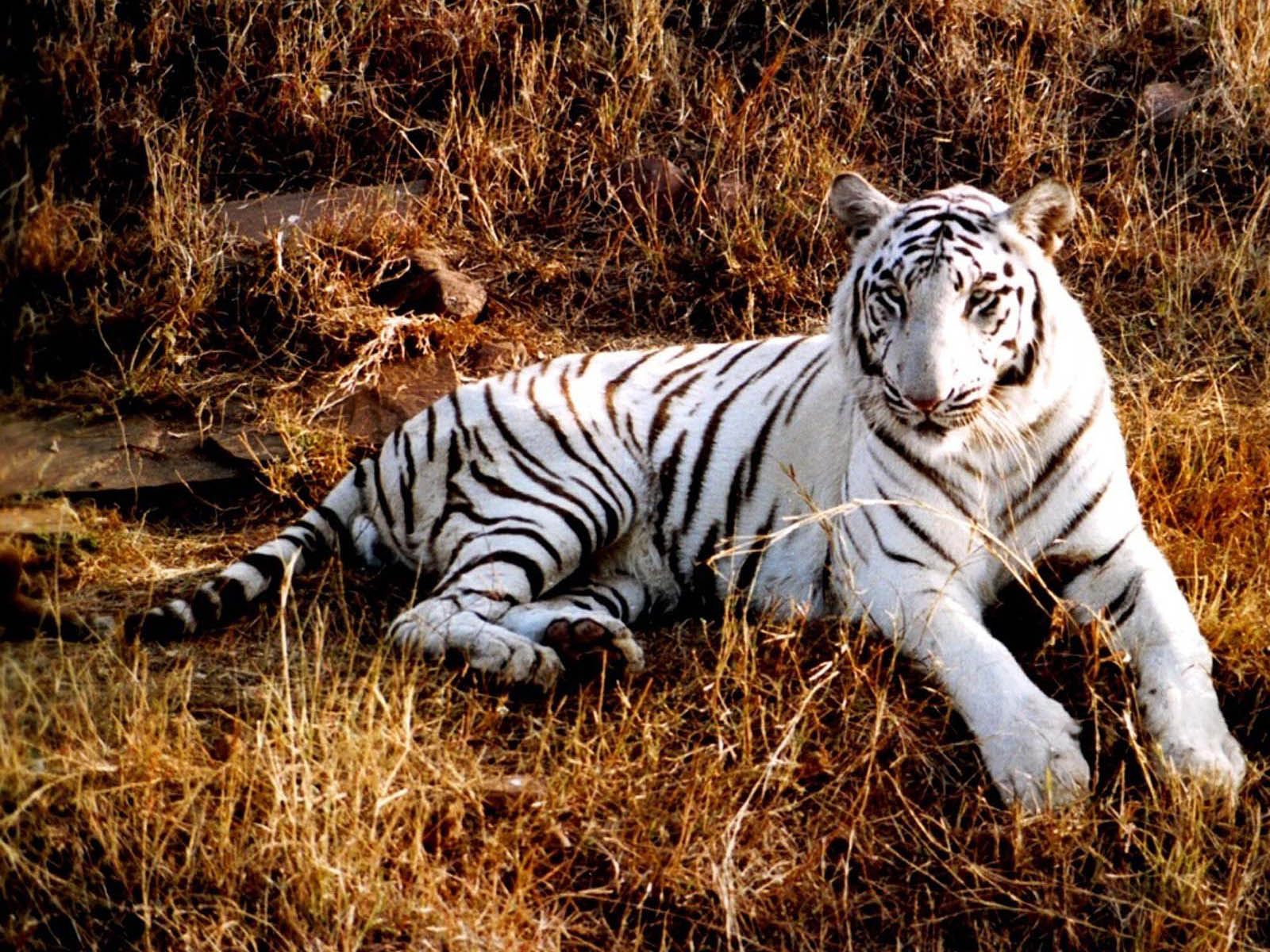 wallpapers White Tiger Wallpapers 1600x1200