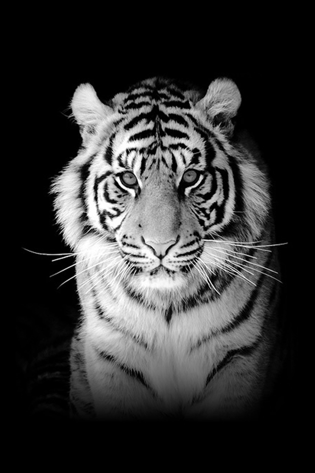 Apple Tiger Wallpaper Want more tiger wallpapers for 640x960