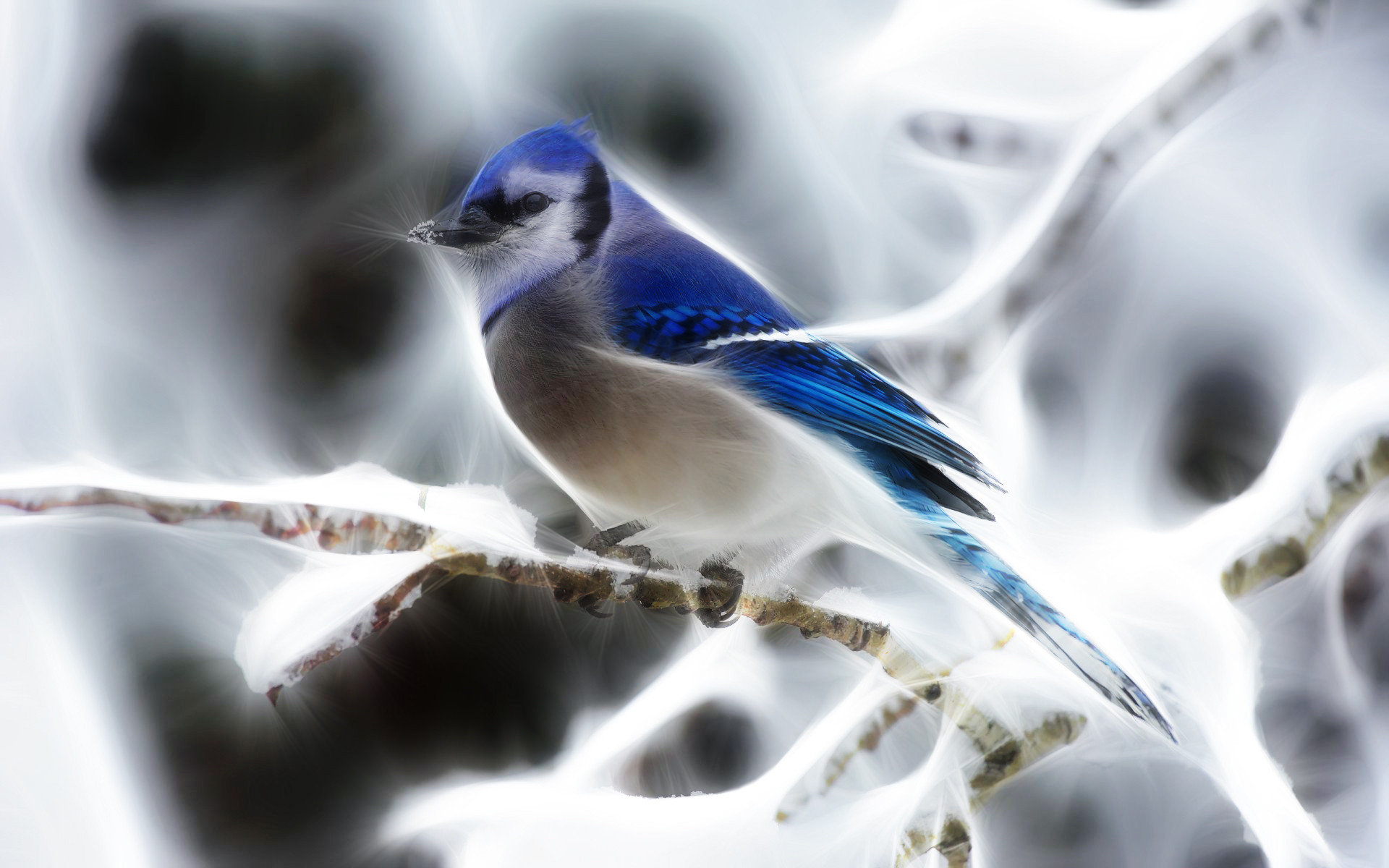 Download Fractalius Blue Jay New Wallpaper Full HD Wallpapers 1920x1200