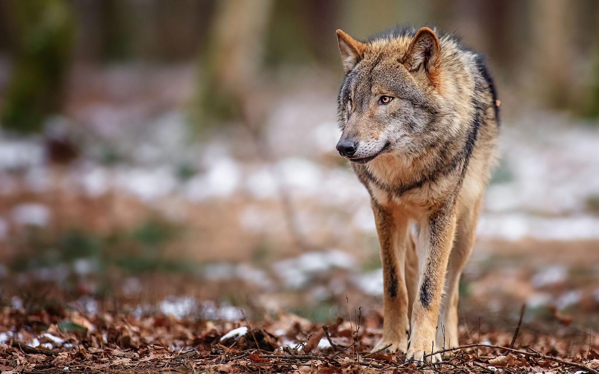 Hd Wolf Backgrounds: Wolf Wallpaper Hd